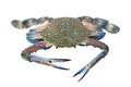 Blue crab Royalty Free Stock Photos