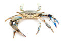Blue crab Royalty Free Stock Images