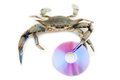 Blue crab Royalty Free Stock Photography
