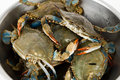 Blue Crab Royalty Free Stock Image