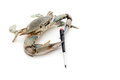 Blue crab holding a screwdriver Royalty Free Stock Images