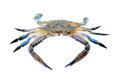 Blue crab isolated on white background Stock Image