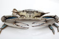 Blue crab on white background Royalty Free Stock Images