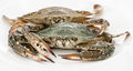 Blue crab white background Royalty Free Stock Image