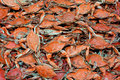 Blue Crabs Stock Images