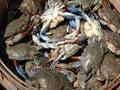 Modrý kraby z blízka