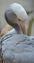 Blue Crane bird from South Africa Royalty Free Stock Photo