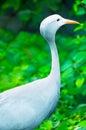 Blue Crane In A Nature