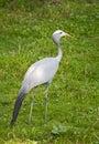 Blue crane Royalty Free Stock Photo