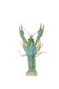 Blue crawfish alive one isolated on white Royalty Free Stock Photo
