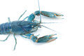 Blue crayfish - Fresh water Lobster Royalty Free Stock Photo