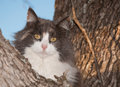 Blue cream and white diluted calico cat up in a tree looking at the viewer Stock Image