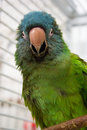 Blue Crown Conure Royalty Free Stock Photo
