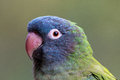 Blue crowned conure Royalty Free Stock Photo