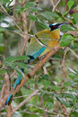 Blue crowned motmot closeup of a crown in the rain forest of belize Royalty Free Stock Image