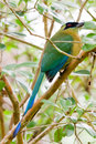 Blue crowned motmot closeup of a crown in the rain forest of belize Royalty Free Stock Photos