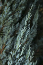 Blue Cypress 1
