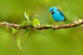 Blue Dacnis, Dacnis cayana, exotic tropic cute tanager with yellow leg, Costa Rica. Blue songbird in the nature habitat. Beautiful Royalty Free Stock Photo