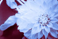Blue Dahlia Inverted Royalty Free Stock Photo