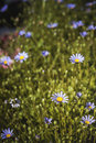 Blue daisies field blooming Royalty Free Stock Photo