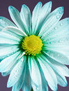 Blue daisy Royalty Free Stock Image