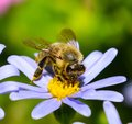 On blue daisy, bee collects honey Royalty Free Stock Photo
