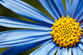 Blue Daisy, Close Up