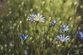 Blue daisy Royalty Free Stock Photo