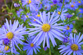 Blue daisy plant felicia amelloides marguerite is a species of flowering Royalty Free Stock Images