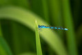 Blue damselfly common resting on a rweed Royalty Free Stock Photo