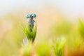 Blue damselfly trapped in sundew