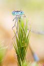 Blue damselfly trapped by sundew