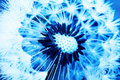 Blue dandelion Royalty Free Stock Photography