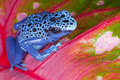 Blue Dart Frog Royalty Free Stock Photos