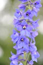 Blue delphinium flowers a raceme of Royalty Free Stock Photos