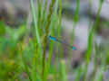 Blue Dragon Fly Royalty Free Stock Photo
