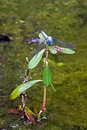 Blue Dragon Fly On Plant Royalty Free Stock Photo