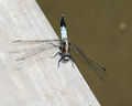 Blue dragonfly beautiful light perched on a wooden railing Royalty Free Stock Image