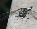 Blue dragonfly beautiful light perched on a wooden railing Royalty Free Stock Photo