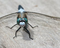 Blue dragonfly beautiful light perched on a wooden railing Royalty Free Stock Images