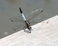 Blue dragonfly beautiful light perched on a wooden railing with its tail up in the air Royalty Free Stock Photo