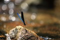 Blue dragonfly a beautiful perched on a rock Stock Photos