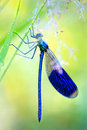 Blue Dragonfly in early morning Royalty Free Stock Photography