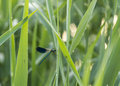 Blue dragonfly on grass Royalty Free Stock Photo