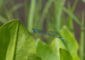 Blue dragonfly on a grass the large sits Royalty Free Stock Image