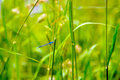 Blue dragonfly in the grass. Royalty Free Stock Photo