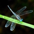 Blue Dragonfly on Green Leaf Stock Photo
