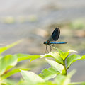 Blue Dragonfly On A Green Plant