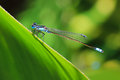 Blue dragonfly on a leaf damselfly resting green Royalty Free Stock Photo