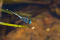 A blue dragonfly resting on branch Royalty Free Stock Image
